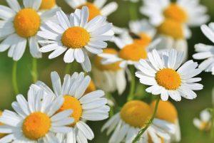 chamomile, evoke aromatherapy, www.evokearomatherapy.com/essentail oils,allergy relief
