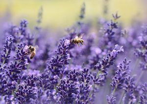 lavender, allergy relief, essential oil, evoke aromatherapy, www.evokearomatherapy.com/essential oils